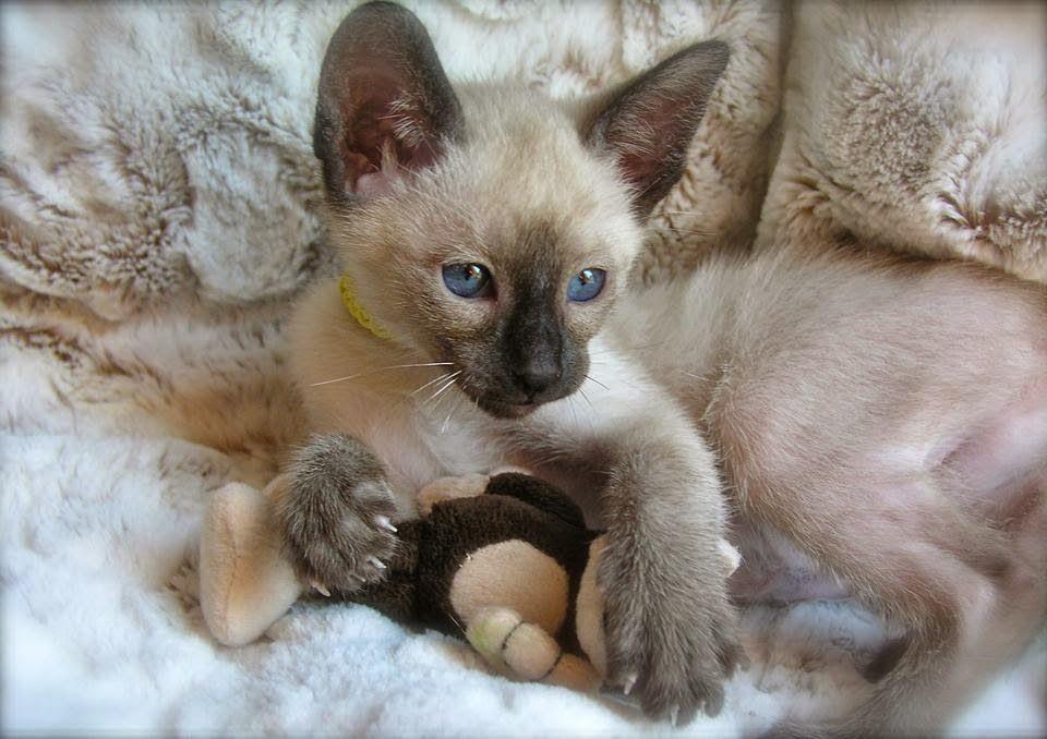 Carolina Blues Cattery Siamese Kittens For Sale Siamese Cats For Sale Siamese Cats Siamese Cat Breeders