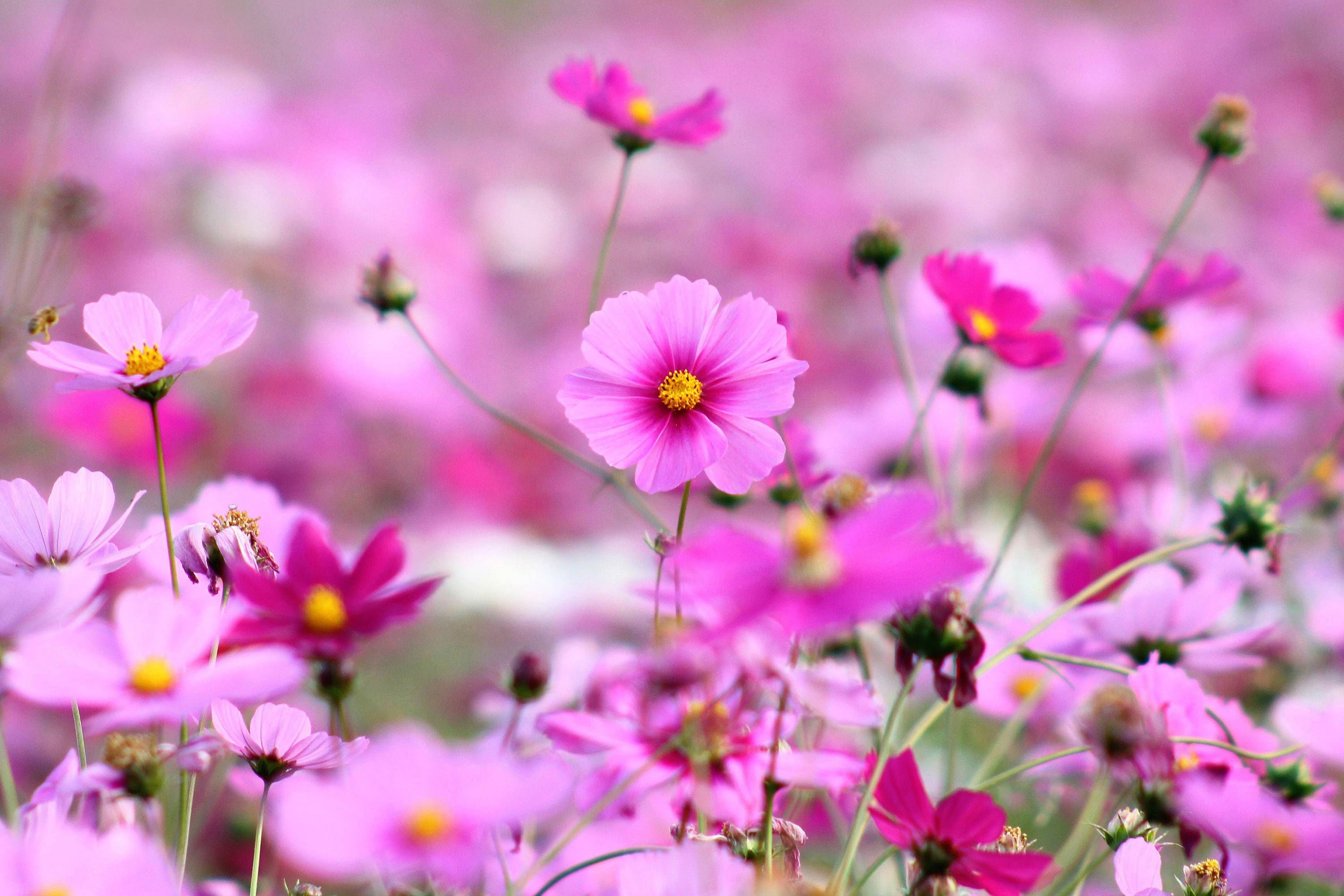 Best Of Hd Flower Wallpaper For Computer And Description In 2020 Purple Flowers Wallpaper Pink Flowers Wallpaper Best Flower Wallpaper