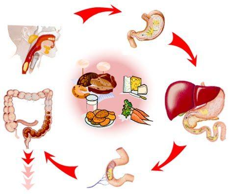 etapas del proceso digestivo, que es el proceso digestivo, sistema ...