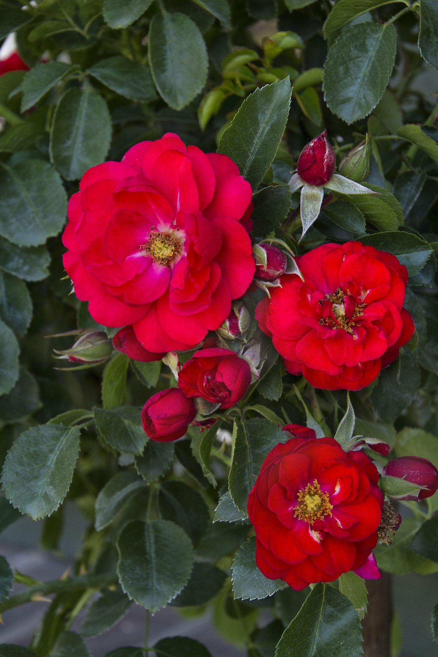 Flower Carpet Scarlet Groundcover Rose Monrovia