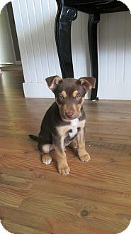Newaygo Mi Doberman Pinscher Husky Mix Meet David A Puppy For