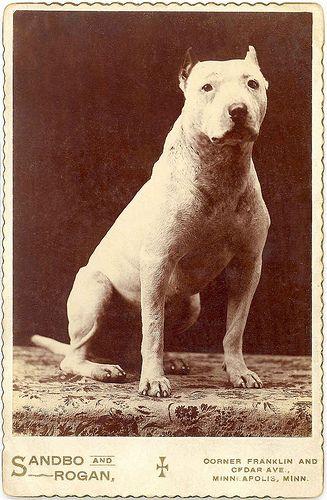 Pitbull cabinet card | Nanny dog, Pitbull terrier, Vintage dog  |American Pit Bull Terrier Vintage