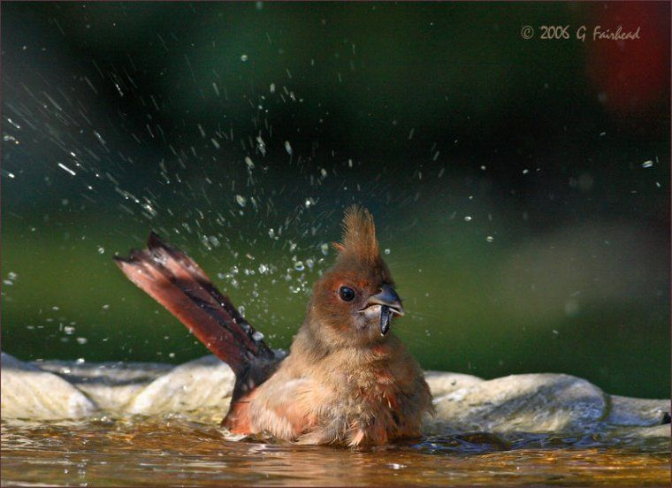 Gary Fairhead photo of baby cardinal | Bird bath garden ...