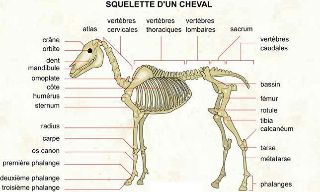 L\'anatomie du cheval dans son ensemble - Hippologie.fr | Leelou ...