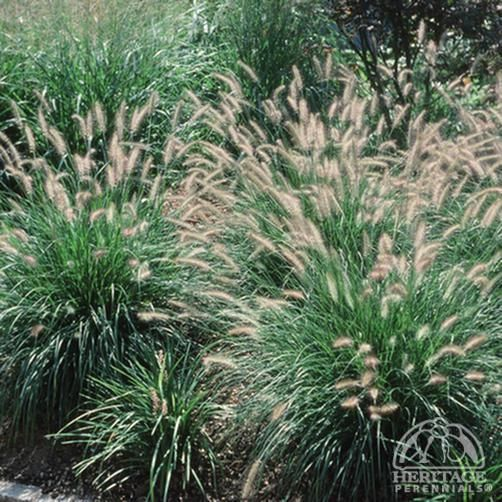 pennisetum alopecuroides hameln fountain grass variety. Black Bedroom Furniture Sets. Home Design Ideas