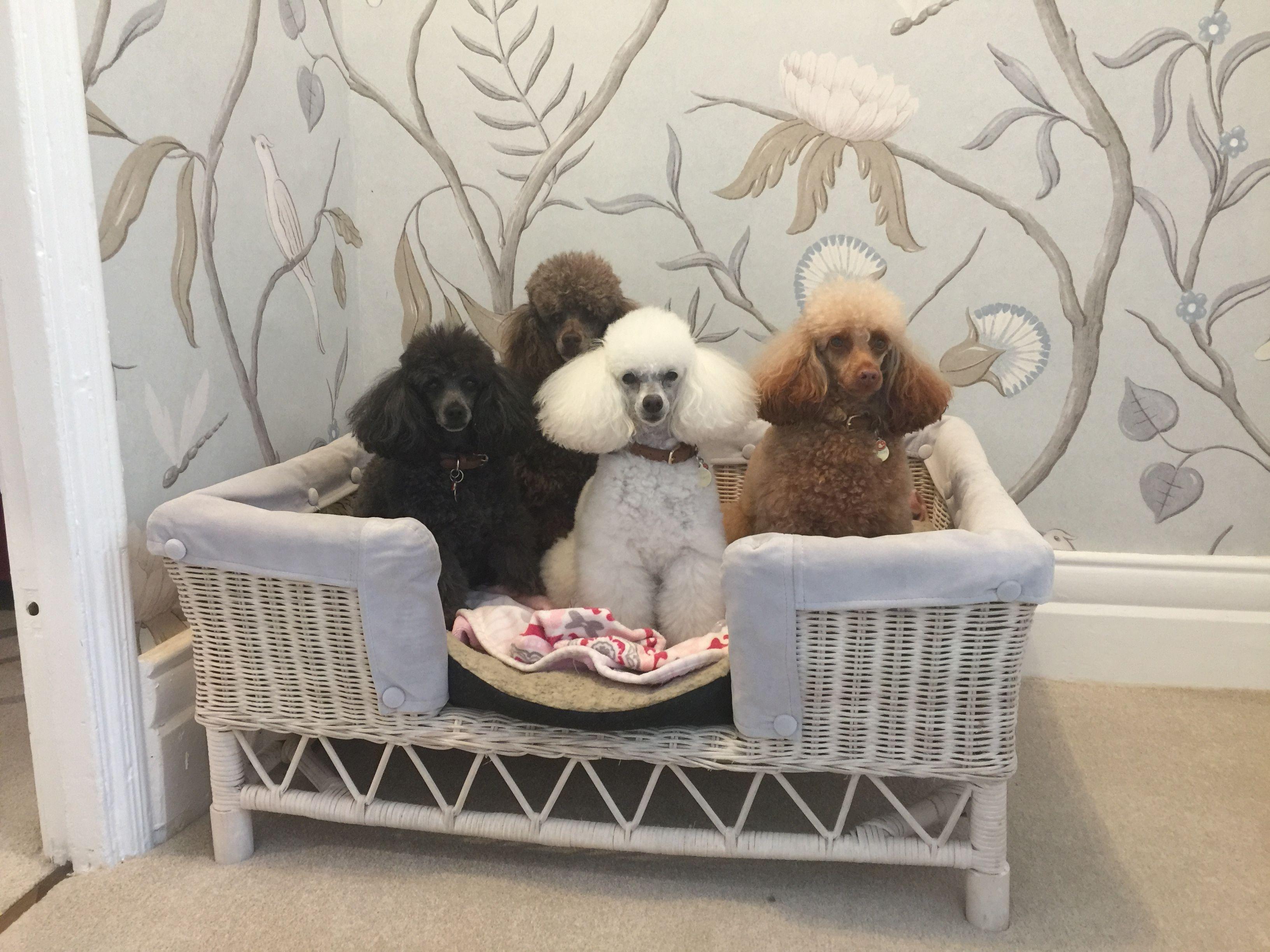 Toy Poodles Poodlegirls Toy Dog Breeds Poodle Dogs