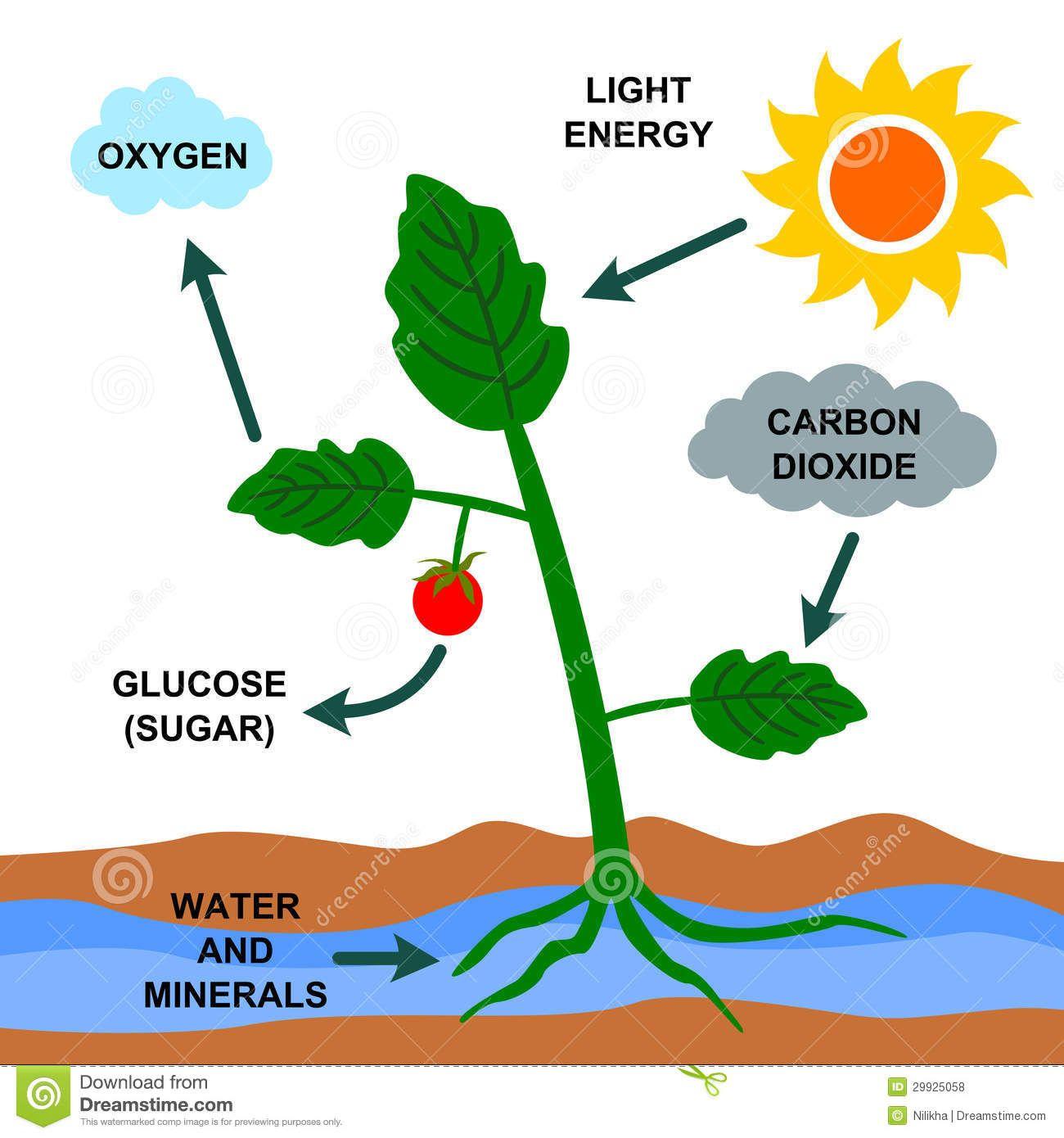 fotosintesis - Buscar con Google | trabajos Nico | Pinterest ...