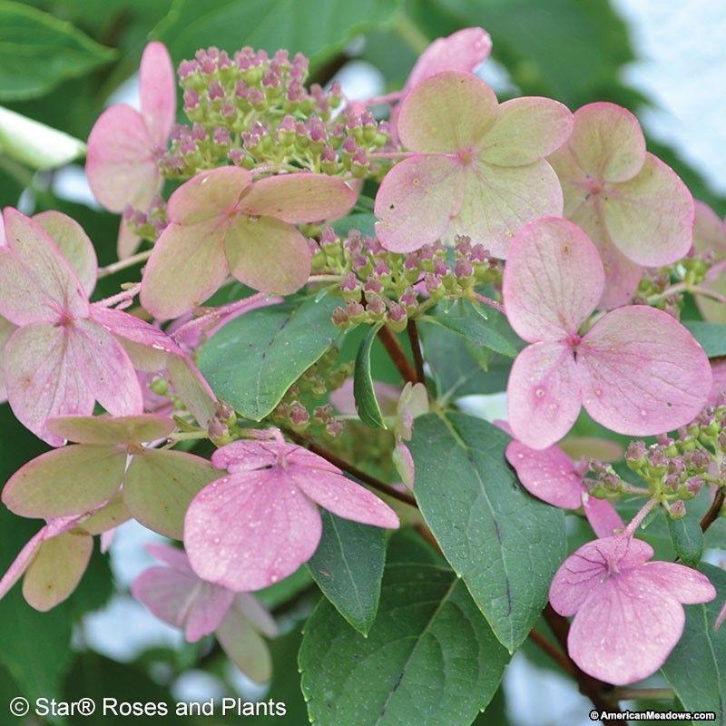 Fire And Ice Hydrangea Hydrangea Not Blooming Smooth Hydrangea Hydrangea Paniculata