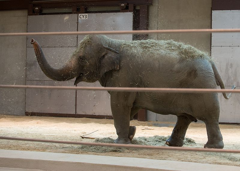 Asian Elephant Bozie Debuts At The Smithsonian S National Zoo Zoo Photos Asian Elephant Elephant