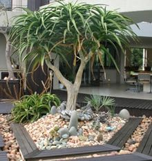 Aloe Barberae 'Tree Aloe'