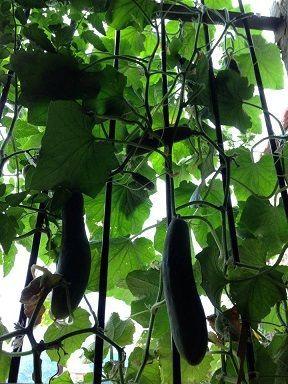 Comment faire pousser des concombres sur son balcon potager pinterest comment fils et pots - Faire pousser des endives ...