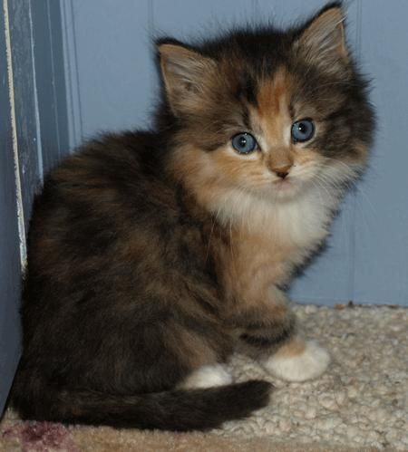 Female Long Haired Calico Cat Named Sky This Is Our Cat Sky At 6
