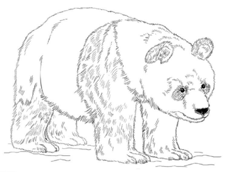 Panda Bear Coloring Pages Printable Osos Pandas Dibujo Paginas Para Colorear De Animales Panda Gigante