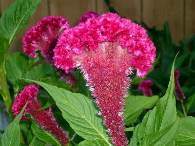 Celosia Propagating Plants Plant Seedlings Red Dirt