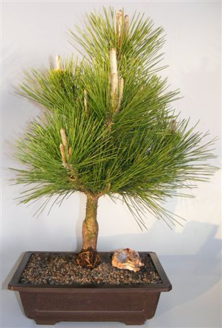 Japanese Black Pine Bonsai Tree Pinus Thunbergii Thunderhead Japanese Black Pine Bonsai Tree Black Pine Bonsai Japanese Black Pine