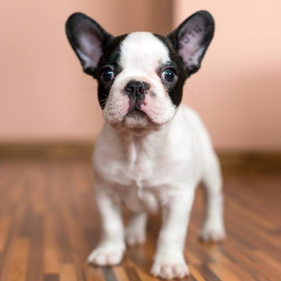 Health Animals Pinterest White French Bulldog