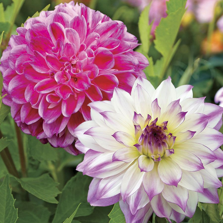 Illusion dahlia duo from park seed flowers pinterest dahlia illusion dahlia duo from park seed izmirmasajfo