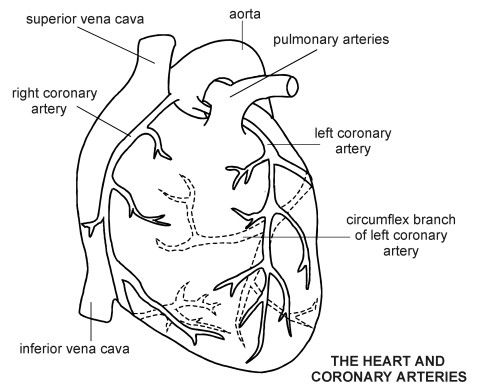 Coronary Angiography Coronary Arteries Human Heart Diagram