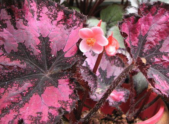 Http Media Growsonyou Com Photos Photo Image 227588 Main Rex Begonia Flower 7 Jpg Begonia Bloom Sutton Seeds
