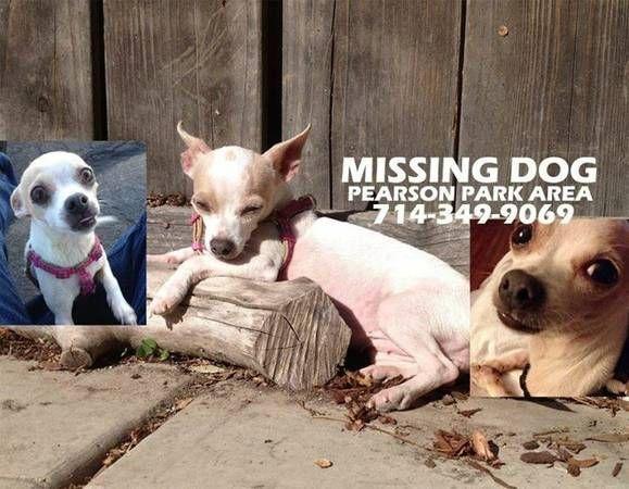 STILL MISSING - Lost chihuahua in Anaheim (Near Pearson ...