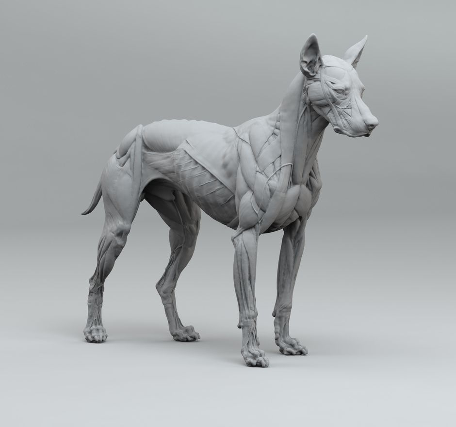 Canine anatomy by slord | Figurative | 3D | CGSociety | Sculpting ...
