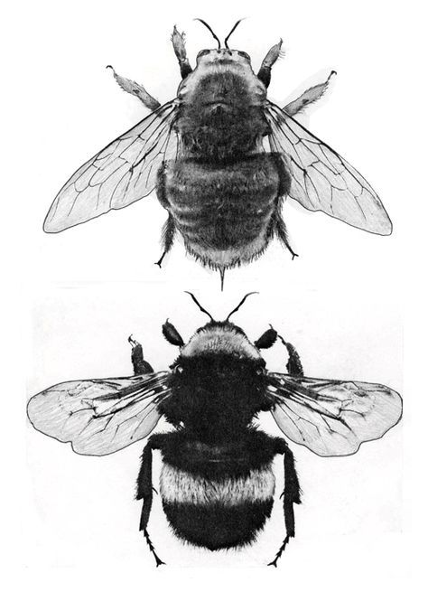 Bee Anatomy Illustrations Bees Tatuering Inspo Pinterest