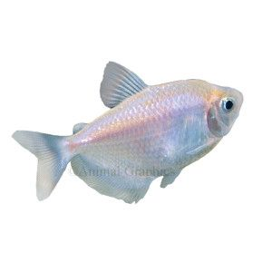 Skirt Tetra Pet Fish Tetra Fish Fish For Sale