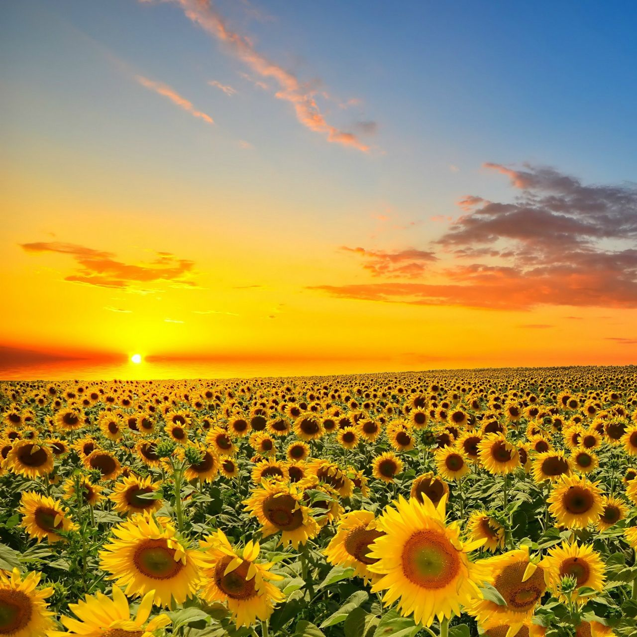 Sunset Over Sun Flowers Field IPad Wallpaper