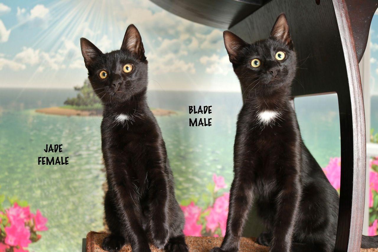 Blade Kitten Adoption Pet Care Pets