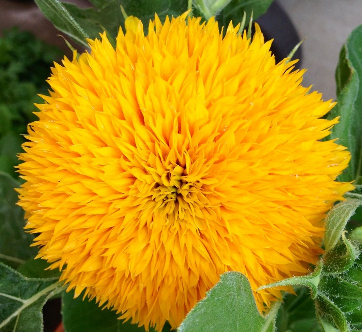 My favorite sunflower!