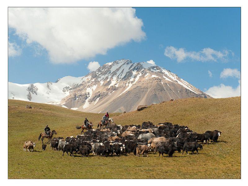 Les Yaks - Arpa valley, Naryn