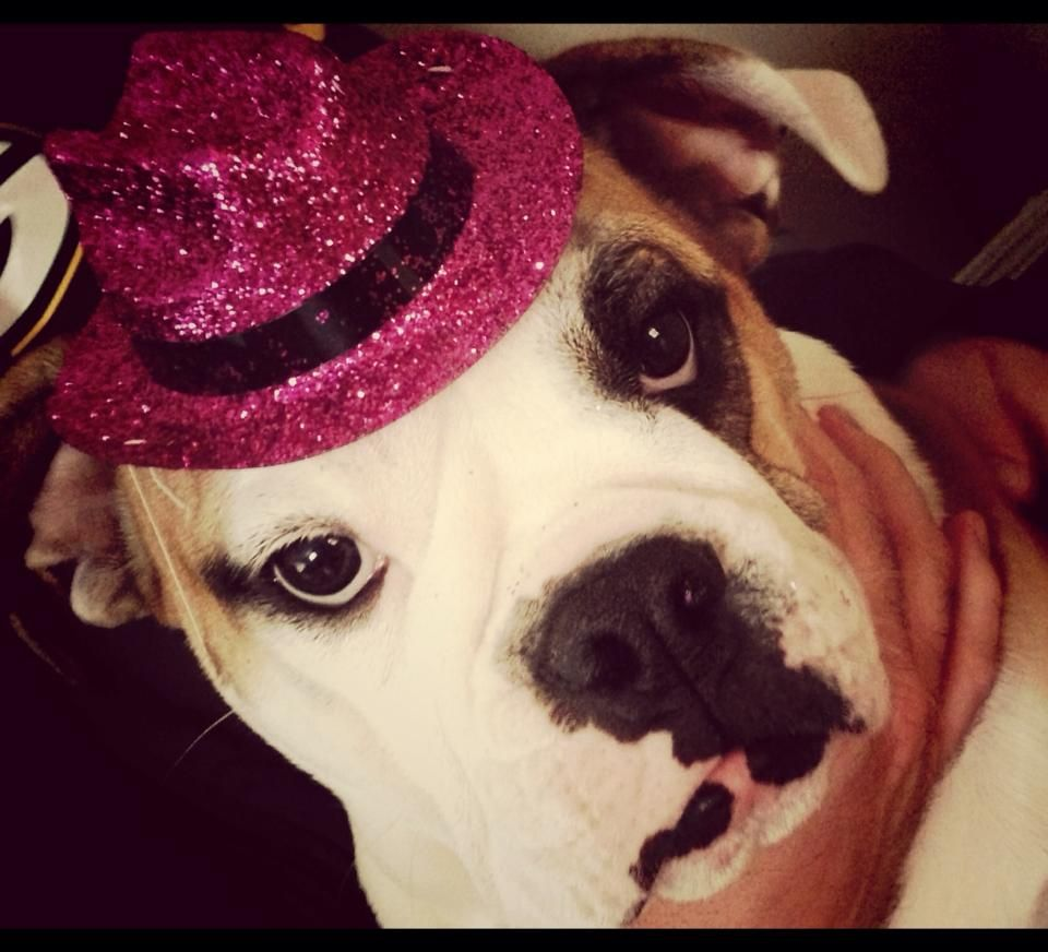 Ethel Mae The English Bulldog Lookin Spiffy Chicago S Cutest Bulldog Follow Ethel On Her Facebook Page Http Ww Cute Bulldogs English Bulldog Bulldog Puppies