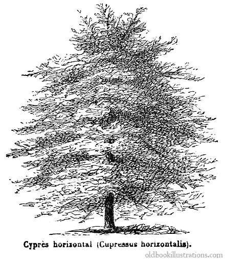 Illustration Showing A Mediterranean Cypress Cupressus Sempervirens Var Horizontalis A Variety Sometimes Called Horizontal Cypress