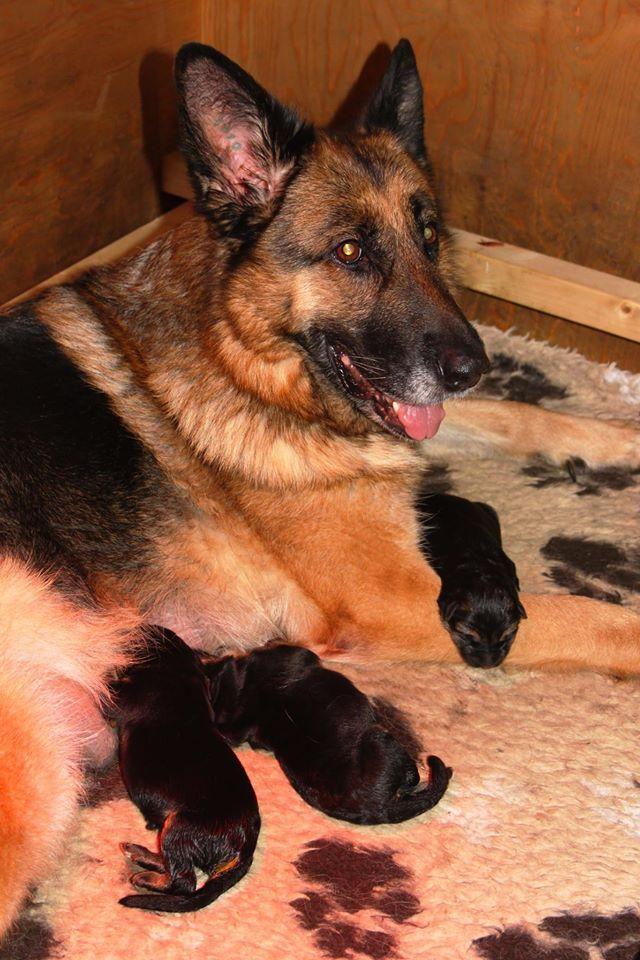De pups. 2 reuen en 1 teefje zijn geboren. vader: Yuri vom Osterberger-Land. moeder: Hessa vom Twickelland.