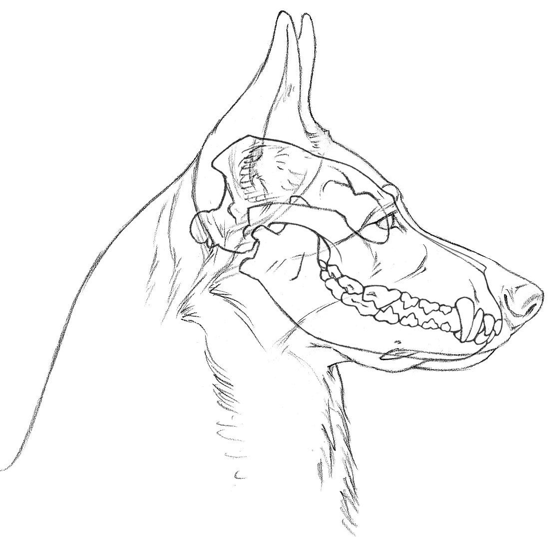 Sketch of the skull and dental work of a German Shepherd. | college ...