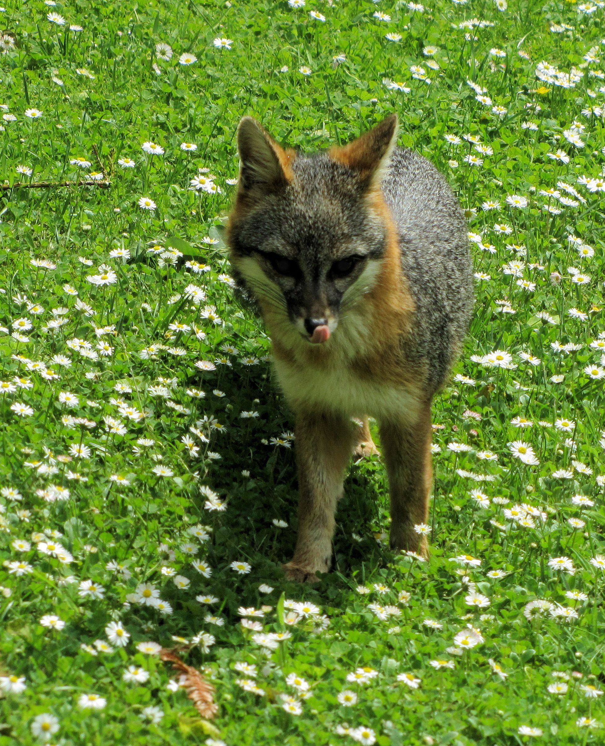 Fox in our yard close to the house | Fox, Grey fox, Animals