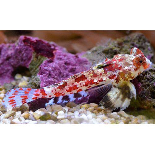 Red Scooter Blenny Synchiropus Stellatus Beautiful Fish Custom Aquarium Saltwater Aquarium