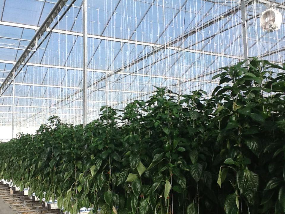 D-FUSE vegetable at paprika. Ideal distribution of light, no shadow, equal light level.