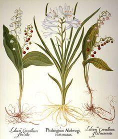 lily botanical print - Google Search