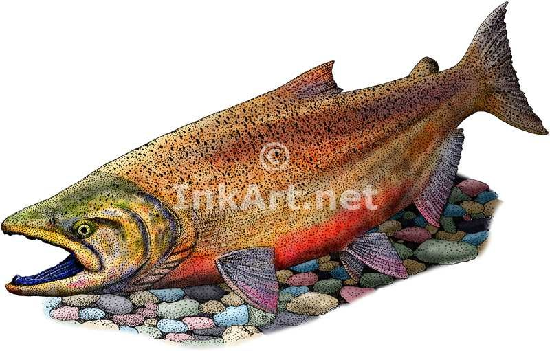Salmon Artwork Full Color Illustration Of A Chinook Salmon
