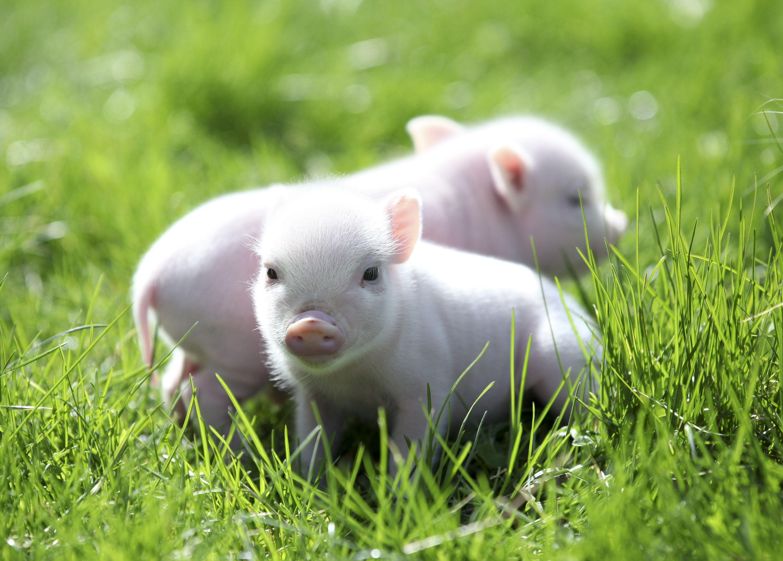 Mini Pet Piglets