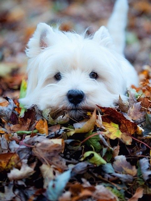 Adorable cute white puppy in the fall….