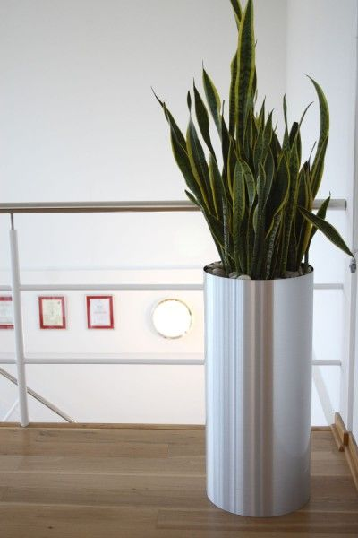 Sanseveria laurentii in tall silver pot office greenery pinterest the office pots and plants - Tall office plants ...