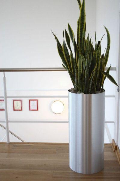 Office pot plants Interior Sanseveria Laurentii In Tall Silver Pot Amazoncom Sanseveria Laurentii In Tall Silver Pot 花艺 Office Plants