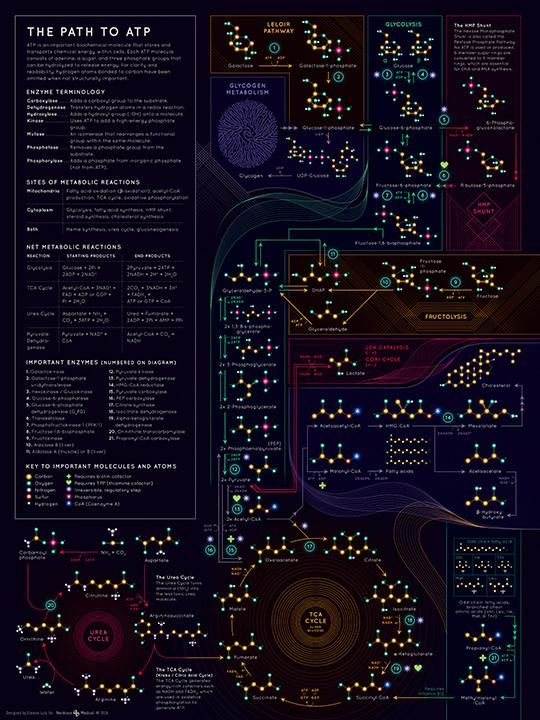 Path to ATP Poster | Anatomy & Physiology | Pinterest | Paths ...