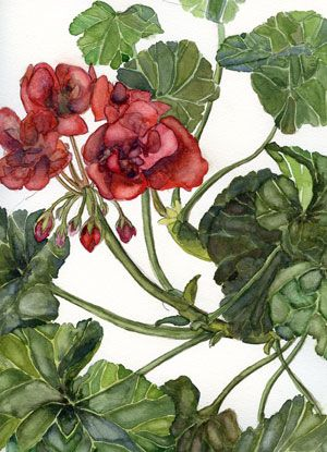 Botanicalartists Com Botanical Art Paintings Watercolors And