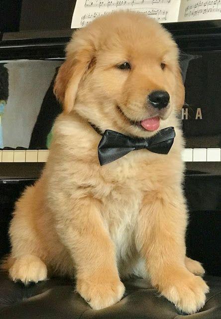 Como Cuidar Y Adiestrar A Cachorros Golden Retriever Retriever