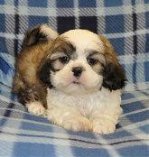 Shih Tzu Shih Tzu Puppy Shih Tzu Puppies