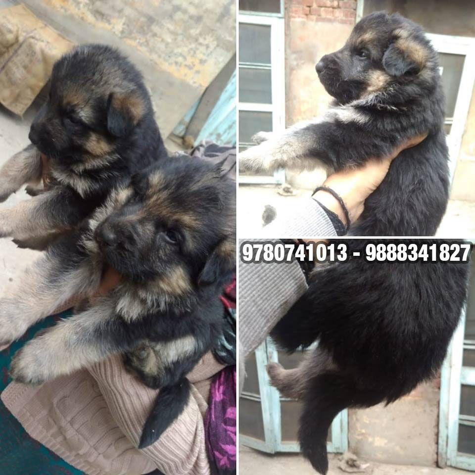 Get german shepherd puppies available in delhi noida