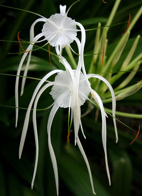 Amazing tropical flowers. Peruvian Daffodil lily( hymenocallis  Littoralis) aka: Spider lily. we have them in our garden